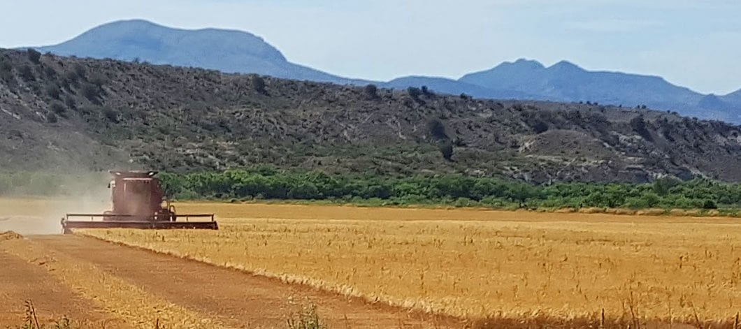 harvesting-barley