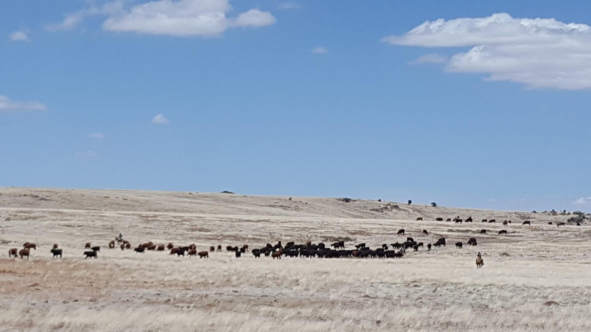 Cattle on Rangeland - Apache NRCD